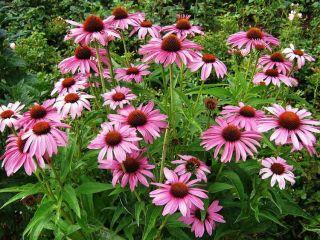 Remediu naturist Echinaceea